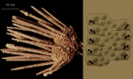 Rhynchocidaris triplopora