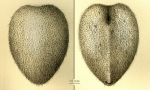 Spatagocystis challengeri