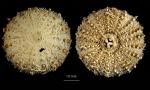 Sterechinus antarcticus