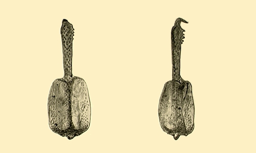 Sterechinus dentifer