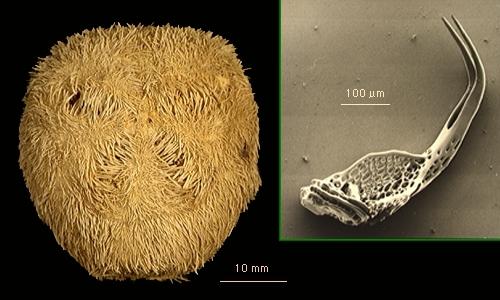Tripylus abatoides
