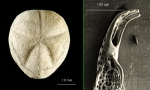 Tripylus reductus