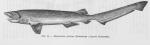 Hexanchiformes