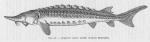 Poll (1947, fig. 081)
