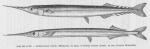 Beloniformes