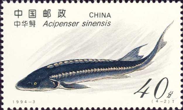 Acipenser sinensis
