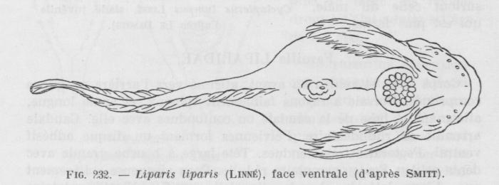 Poll (1947, fig. 232)