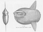 Tetraodontiformes