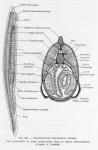 Cephalochordata (lancelets)