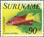 Bodianus pulchellus