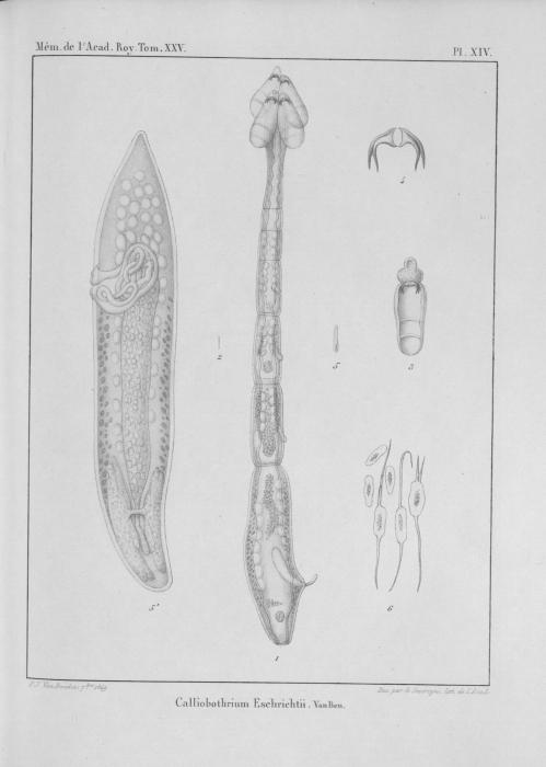 Van Beneden (1850, pl. 14)