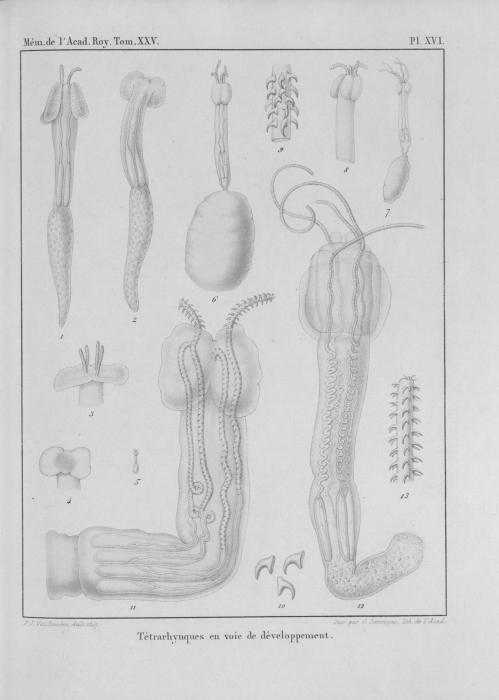 Van Beneden (1850, pl. 16)