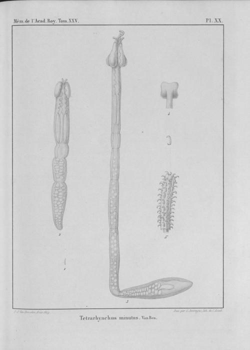 Van Beneden (1850, pl. 20)