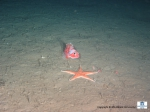 A Helicolenus dactylopterus (Blackbelly rosefish) and a Astropectinidae (sand living starfish)