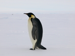 Aptenodytes forsteri - Emperor Penguin, author: Rebeca Zapata Guardiola