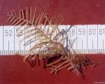Diphasia sp.