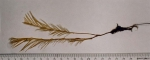 Lytocarpia myriophyllum (Linnaeus, 1758) 