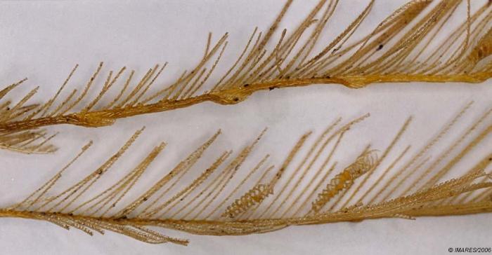Lytocarpia myriophyllum (Linnaeus, 1758)