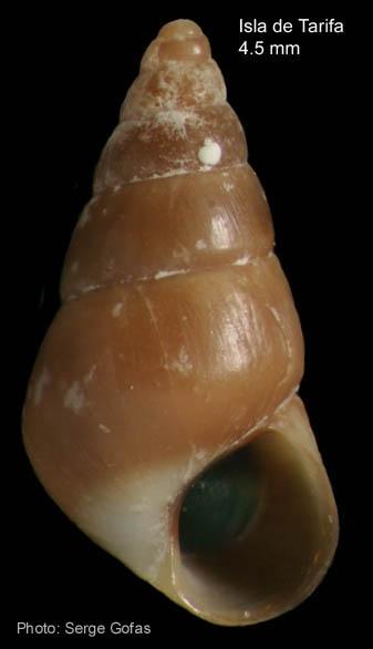 Barleeia gougeti (Michaud, 1830). Specimen from Isla de Tarifa, Strait of Gibraltar (height 4.5 mm)