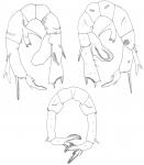 australiensis P5