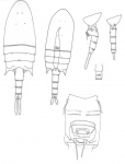 aurivilli body