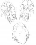 aurivilli P5
