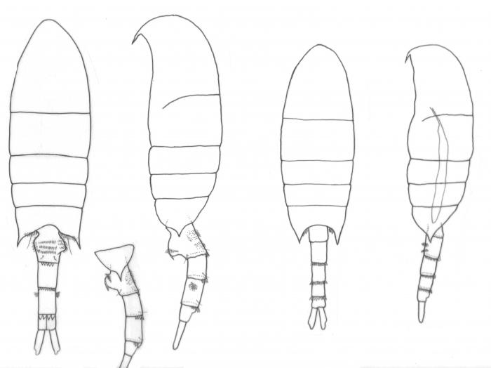arabicus body