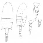 bispinosus body