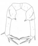 clevei P5 female