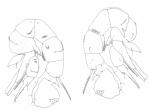 compactus male P5