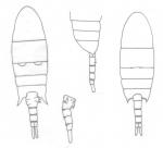 cornutus body