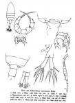 curvilobatus body & P5
