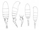longispinosus  body