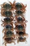 Liocarcinus holsatus (Fabricius, 1798)