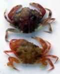 Liocarcinus pusillus (Leach, 1815)