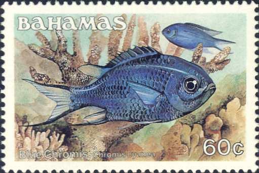 Chromis cyanea