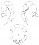 P. acutus P5