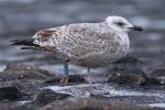 VLIZ website: Ocean life: Seabirds
