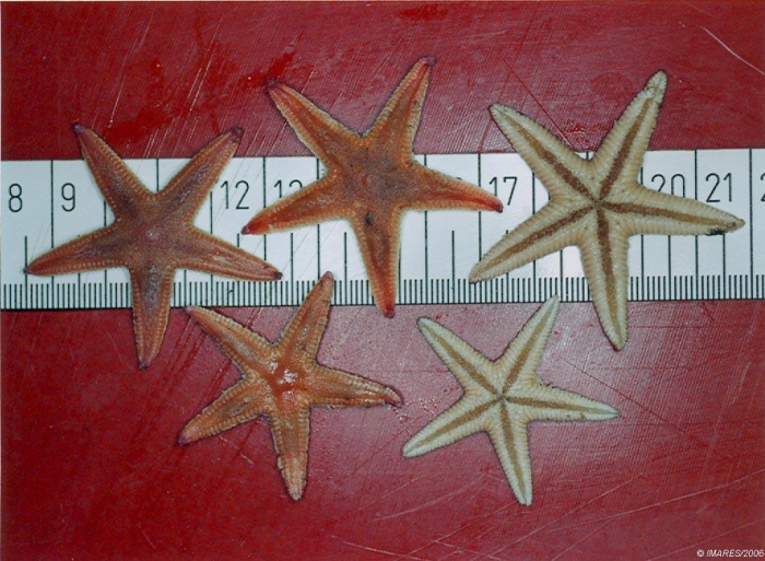 Astropecten irregularis (Pennant, 1777)