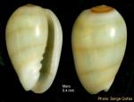 Gibberula miliaria(Linné, 1758) - Specimen from Maro (Málaga, Spain) (height 5.4 mm)