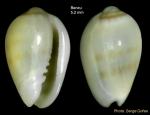 Gibberula secreta Monterosato, 1889 - Specimen from Benzú, Strait of Gibraltar (height 5.2 mm)