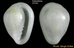 Granulina torosa Gofas, 1992  - Specimen from Punta Almina, Ceuta, Strait of Gibraltar (height 2.2 mm)