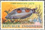 Coris angulata