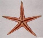 Psilaster andromeda (J. Mller &amp; Troschel, 1842)