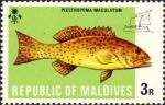 Plectropoma maculatum