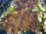 Sargassum muticum (Yendo) Fensholt, 1955