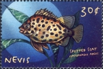 Scatophagus argus