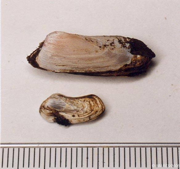 Hiatella arctica (Linné, 1767)