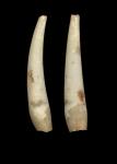 Gadila senegalensis (holotype, MNHN)