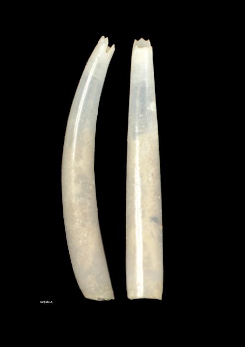 Polyschides cuspidatus (Nicklès, 1979)